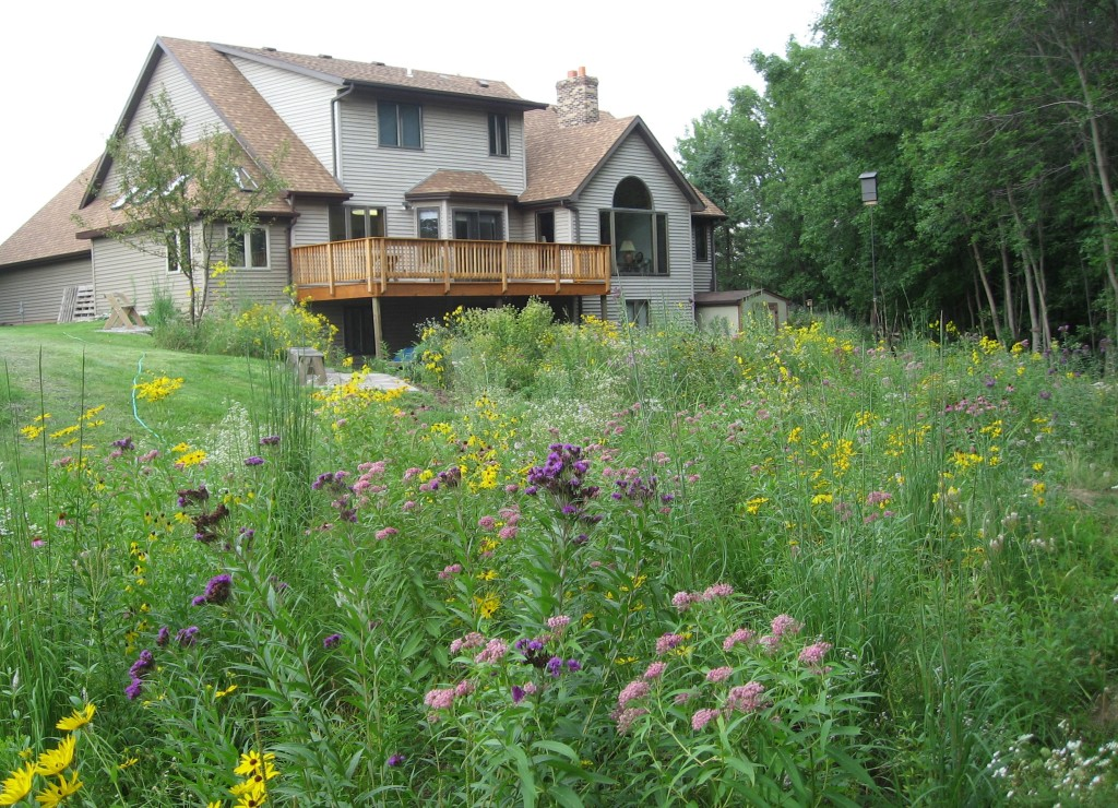 Shown here are the three raingardens that catch runoff from the roof before it washes down to the Guckenberg-Sturm Marsh. Loaded with milkweed (Asclepias L.) and nectar plants it is a haven for monarchs, other insects and birds.