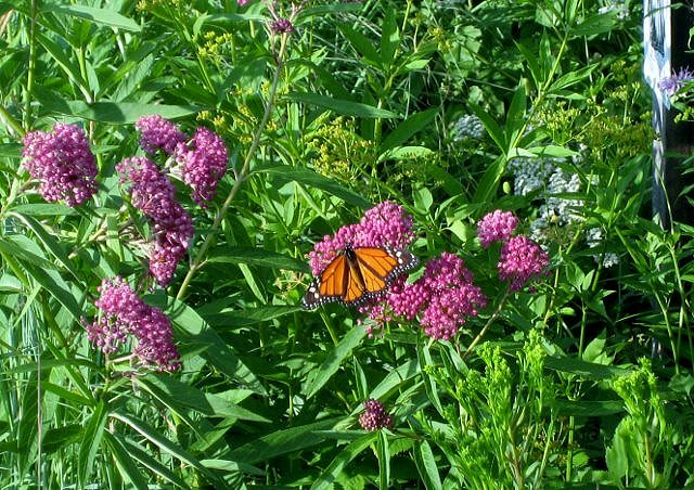 Photo of male monarch & swamp milkweed. Swamp milkweed likes moist to medium soil.