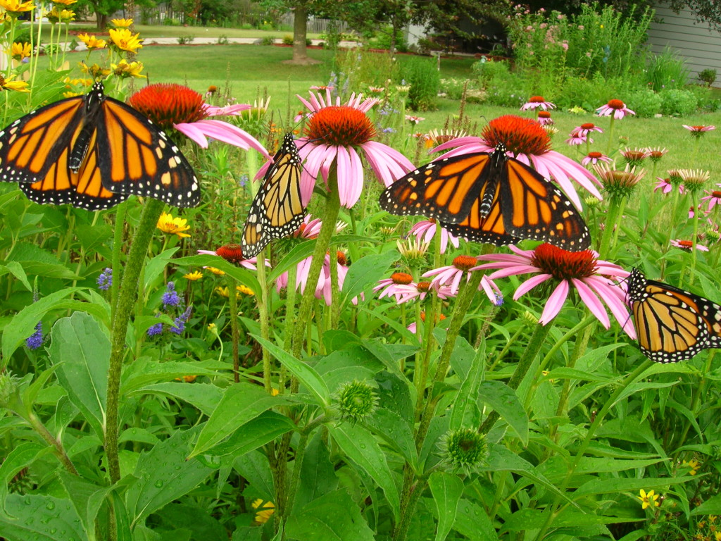 Monarchs on purple coneflowers. The various species of native coneflowers (Echinacea L.) are excellent nectar plants for monarchs and other insects.