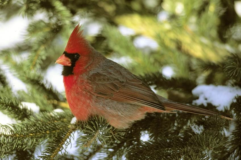 Female cardinal on spruce tree. Photo by Jack Bartholmai