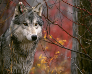 Wolf in Autum from All About Wolves