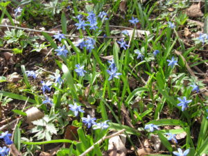 Scilla (Scilla verna) spreads rapidly from seed. When you see the blue blossoms, you'll also seed slim lime-green spires all around indicating new plants growing from last year's seed.