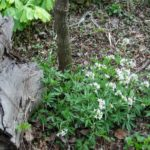 Cutleaf toothwort - one of my favorite spring ephemerals. Hickory stump to the left, mayapple in the background. Trunk is hop hornbeam.