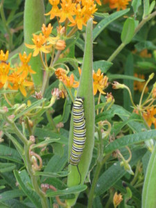 Monarch Caterpillar munching on a milkweed (Asclepias L.) plant.