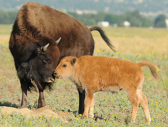 Photo of a baby bison and its momma at Rocky Mountain Arsenal National Wildlife Refuge in Colorado by Rich Keen, DPRA. Photo provided by US Dept of the Interior.