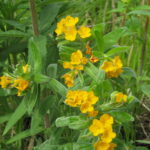 Hoary puccoon (Lithospermum canescens (Michx.) Lehm) is threatened and/or endangered in many states. This plant pops up occasionally in my prairie in appreciation for being rescued from destruction many years ago.