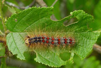 Gypsy moth larva feeding on leaf material. Photo by Bill NcNee, WDNR.