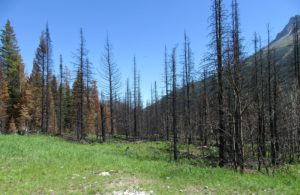 We saw many acres of dead trees caused by fire and/or beetle damage throughout the Glacier/Yellowstone/Red Teton National Parks. This site is at Red Rock Canyon, Waterton, Alberta Canada