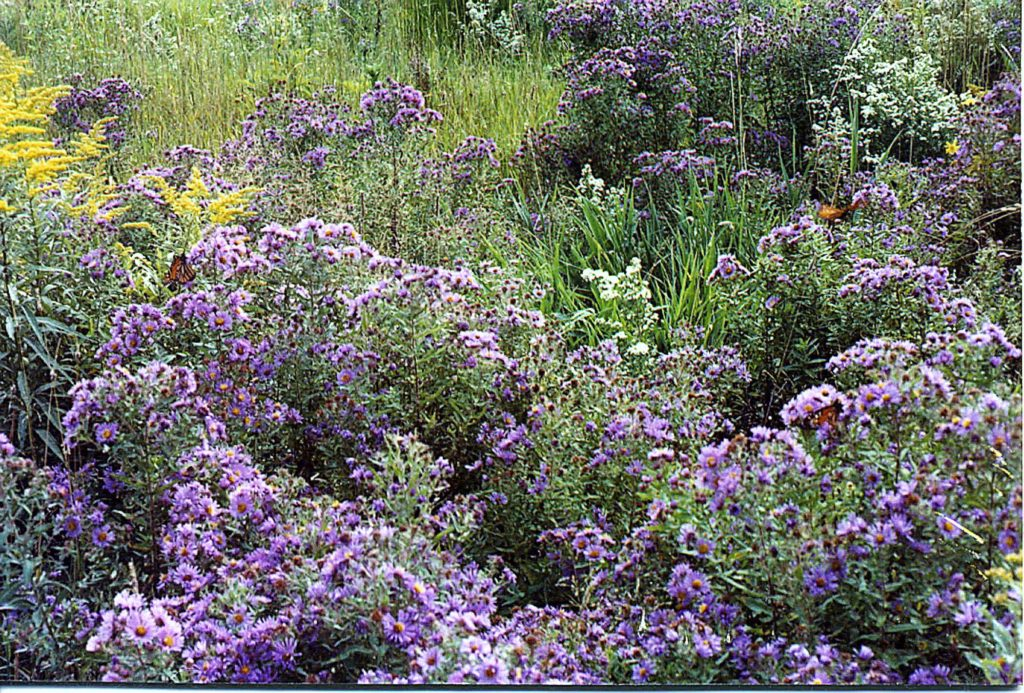 New England Asters (Symphyotrichum novae-angliae fna Aster novae-angliae), Frost Asters & Goldenrod providing a late summer feast for monarchs as they head south toward their winter quarters in Mexico.