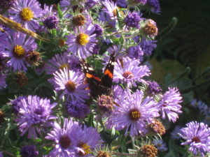 Red Admiral butterfly on New England Aster.