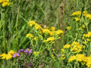 Red Admiral butterfly sharing Stiff Goldenrod (Solidago rigida) with a number of honey bees.