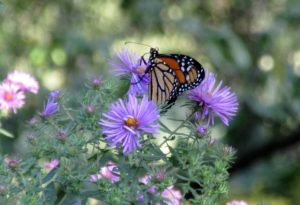 Monarch butterfly on purple colored New England Aster (Symphotrichum novae-angliae). Note pink colored aster in background.