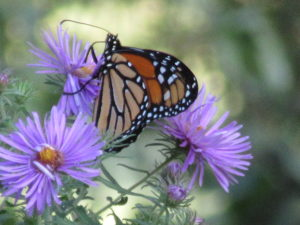 Monarch butterfly on New England Aster (Symphotrichum novae-angliae).
