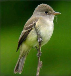 Southwestern willow-flycatcher. Photo courtesy of USFWS