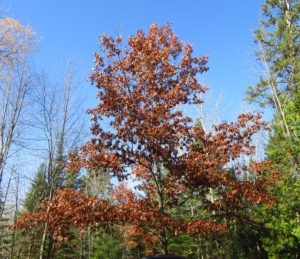 Northern Red Oak (Quercus rubra) is the prettiest of our oak trees since its fall colors range anywhere from a strong bronze to a brilliant red.