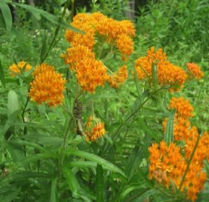 Butterflyweed (Asclepias tuberosa) has been chosen Perennial Plant of 2017 by the American Perennial Plant Association.