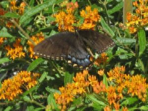 Butterflyweed (Asclepias tuberosa) shown here with an Eastern Black Swallowtail is used by a variety of insects throughout the year.