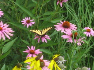 Eastern Tiger Swallowtail on Purple Coneflower Echinacea purpurea). Note Yellow Coneflower (Ratibida pinnata) toward bottom of photo.