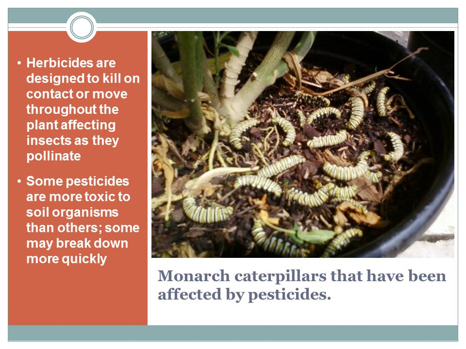 "Slide from Wild Ones Wild for Monarchs PPT. Photo courtesy of Monika Maekle's ""Texas Butterfly Ranch"" blog."