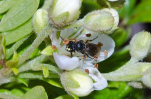 Yellow-faced bee (Hylaeus assimulans)
