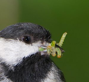 Chickadees feed 300+/- caterpillars to their chicks daily. Photo by Doug Tallamy.