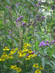 Tall Ironweed (Vernonia altissima) and Sneezeweed (Helenium autumnale) Both do well in mesic soil, which can handle periods of high moisture.