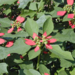 The native Painted Poinsettia (Euphorbia cyathophora) has fiddle-shaped leaves. Photo by Joseph A Marcus, courtesy of Wildflower Center..