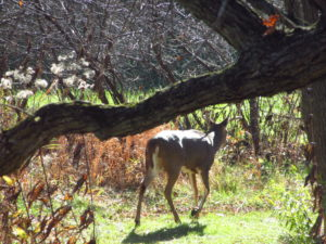 A lonely buck white tail deer walks through the natural landscaping on his way to his morning slumber across the creek.