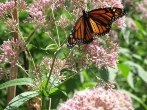 Summer monarch nectaring on a native Joe Pye Weed (Eutrochium purpureum fna Eupatorium purpureum)