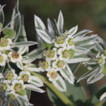 The native Snow on the Mountain (Euphorbia marginata) has light-green variegated leaves. Photo by Nan Hampton, courtesy of Wildflower Center.