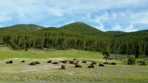 Healthy herd of Bison resting in an area of the Upper Loop of Yellowstone National Park. Photo by Kristin Kauth