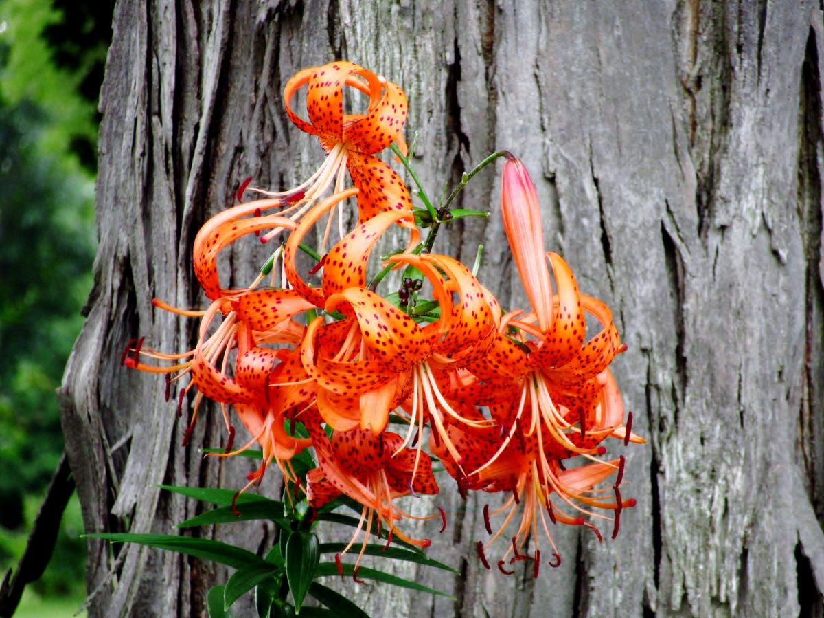 Non Native Tiger Lily Accent On Natural Landscaping