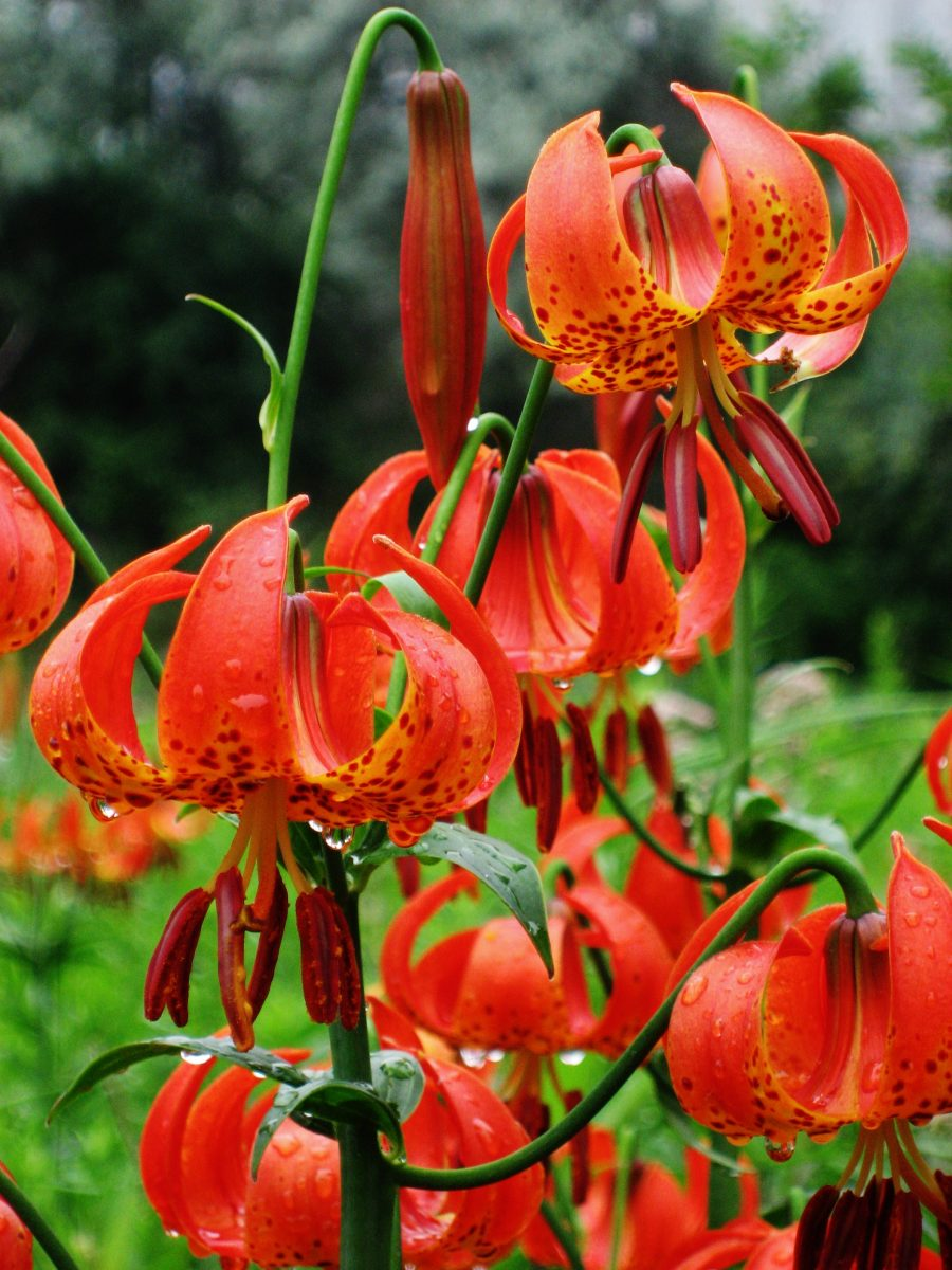 Michigan Lily Lilium Michiganense Accent On Natural Landscaping