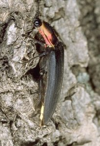 A boreal firefly resting during the day on the bark of a tree. Photo courtesy of Beneficial Bugs