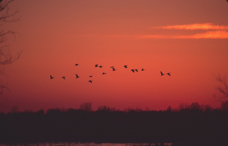 """Canada geese singing their """"wild poem """" as they head toward the """"muds of March"""" (Sand County Almanac)."""