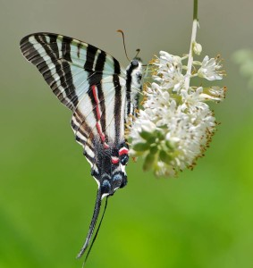 Tiger Swallowtail on Cherry Tree. Native Prunus support 456 species of caterpillars. Photo by Doug Tallamy.