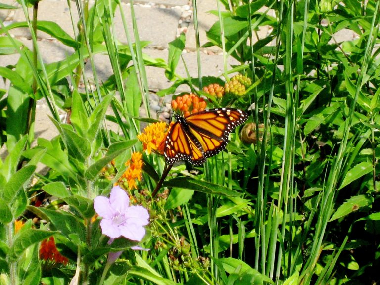 A female monarch butterfly nectaring on Butterflyweed (Asclepias tuberosa) at the entrance to the WILD Center. Note the dainty Prairie Petunia (Ruellia humilis).