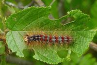 Gypsy moth larva feeding on leaf material. Photo by Bill NcNee, WDNR.