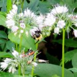 A bumblebee making his livelihood on Virginia Waterleaf (Hydrophyllum virginianum). Recent declines in pollinators have alarmed scientists and naturalists alike. Pollinators include not only bees, but also birds, butterflies, bats, beetles and more.