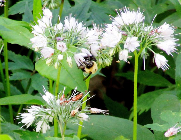 A bumblebee making his livelihood on Virginia Waterleaf (Hydrophyllum virginianum). Recent declines in pollinators have alarmed scientists and naturalists alike. Pollinators include not only bees, but also birds, butterflies, bats, beetles and more.