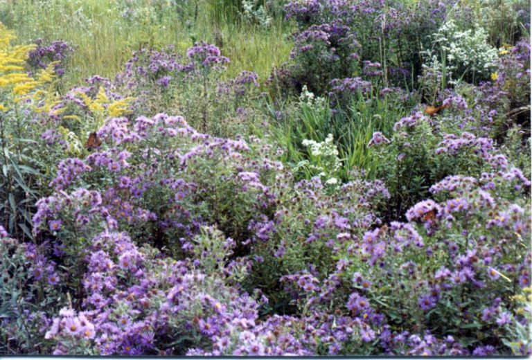 New England Asters (Symphyotrichum novae-angliae), Frost Asters (Symphyotrichum pilosum) and Canada Goldenrod (Solidago canadensis) providing a late summer feast for monarchs as they head south toward their winter quarters in Mexico.