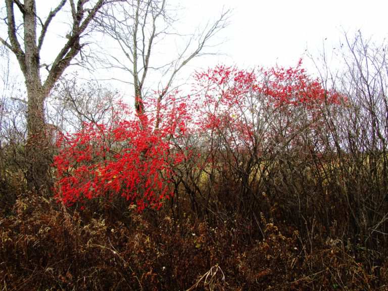 Winterberry (Ilex verticillata) grows in Eastern North America and typically occurs in swamps, low woods and along waterways. It is a deciduous holly which requires both a male and female plant to produce berries.
