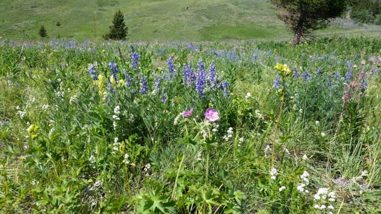Spring prairie native forbs and grasses in Red Rock Parkway, Watertown, Alberta Canada,