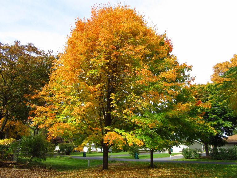 The Sugar Maple (Acer saccharum) has the highest sugar content for making maple syrup. It likes cooler climates. Although we value them for their wood and their syrup, some people consider them weeds because they tend to produce many seedlings.